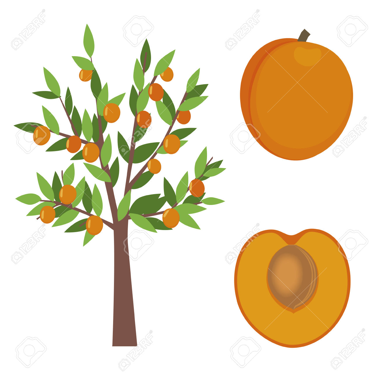 Apricot Tree Illustration Royalty Free Cliparts, Vectors, And.