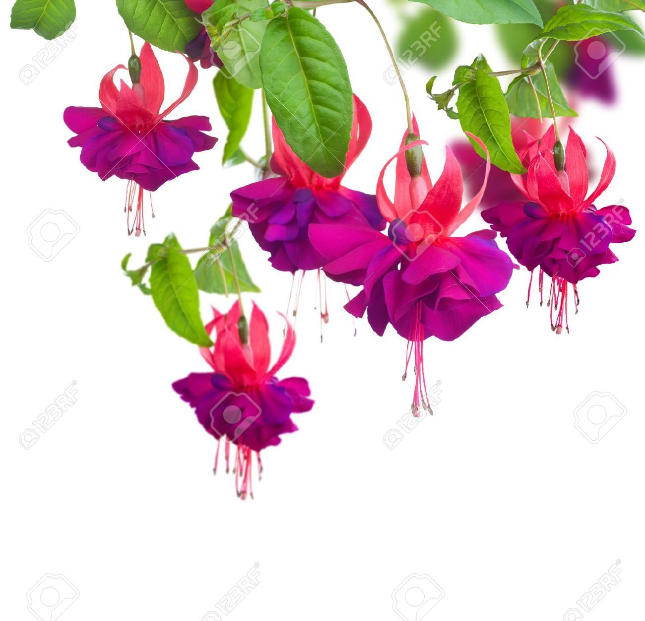Fuchsia Stock Photos Images, Royalty Free Fuchsia Images And.