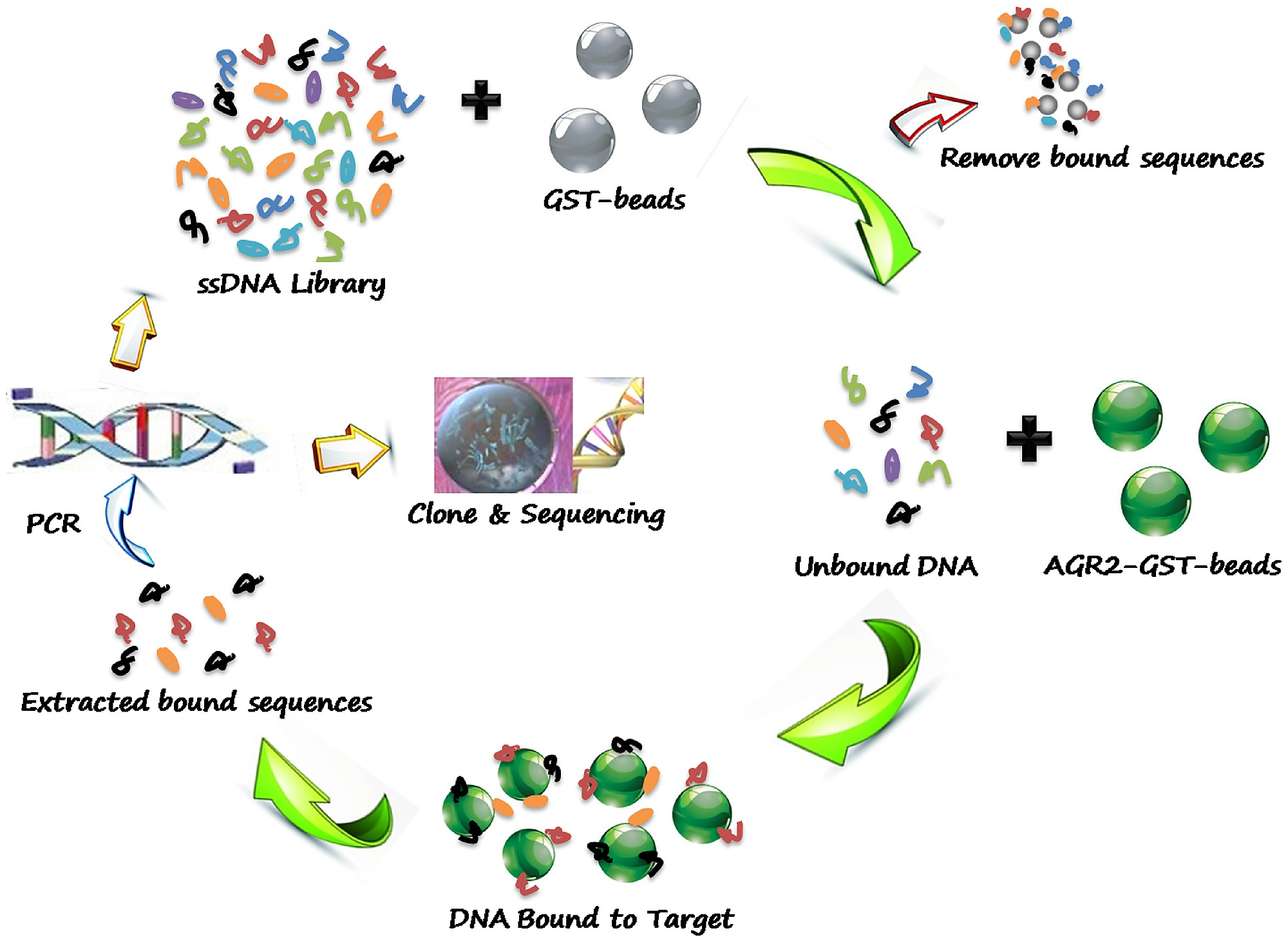 Schematics of systematic evolution of DNA aptamers against AGR2..