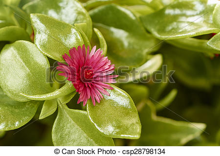 Stock Photos of Flower of Aptenia cordifolia.