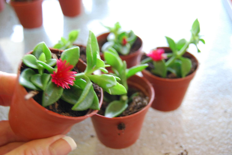 Baby Sun Rose 'Red Apple' Aptenia Ice Plant Rare.
