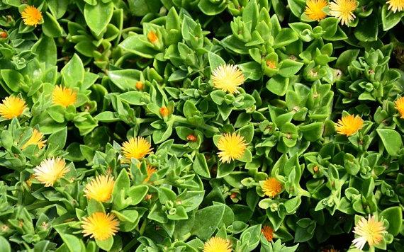 Yellow Sun Rose Sun Jewel Aptenia Cordifolia Haekeliana by.