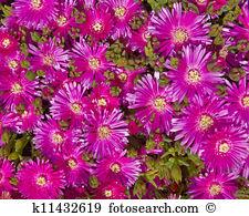 Aptenia cordifolia Stock Photo Images. 8 aptenia cordifolia.