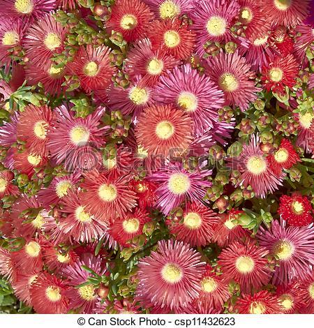 Stock Photo of baby sun rose (aptenia) closeup.
