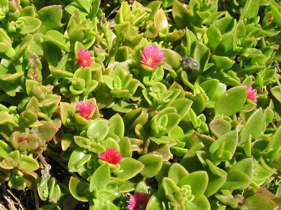 cordée, Ficoïde à feuilles en cœur, Aptenia cordifolia.
