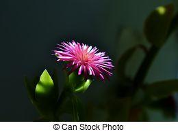 Stock Photography of baby sun rose (aptenia) closeup.