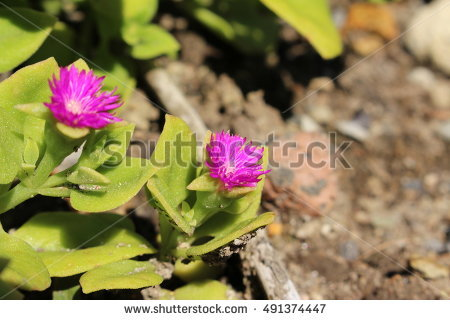 Cordifolia Stock Photos, Royalty.