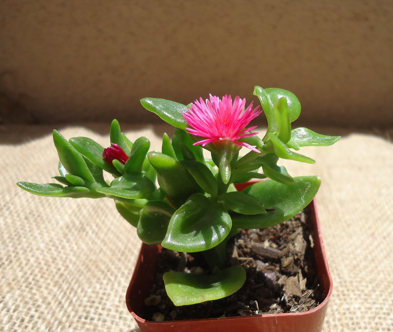 Baby Sunrose Succulent.