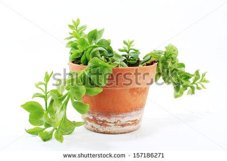 Aptenia cordifolia Stock Photos, Images, & Pictures.
