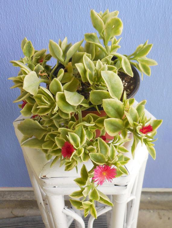 Aptenia cordifolia variegata 'Crystal' 'Heartleaf by KiKiBeauTeak.