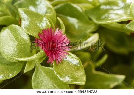 Mesembryanthemums Stock Photos, Royalty.