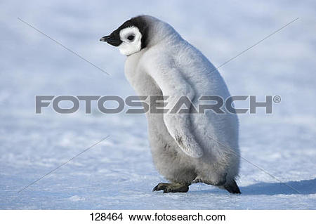 Stock Photo of emperor penguin.
