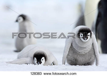 Stock Photo of emperor penguin.