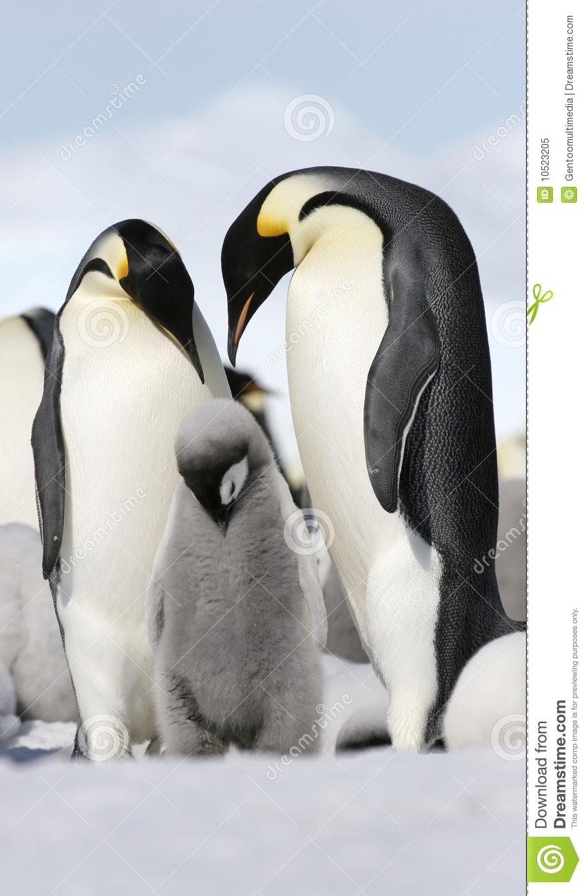 Emperor Penguins (Aptenodytes Forsteri) Royalty Free Stock Photo.