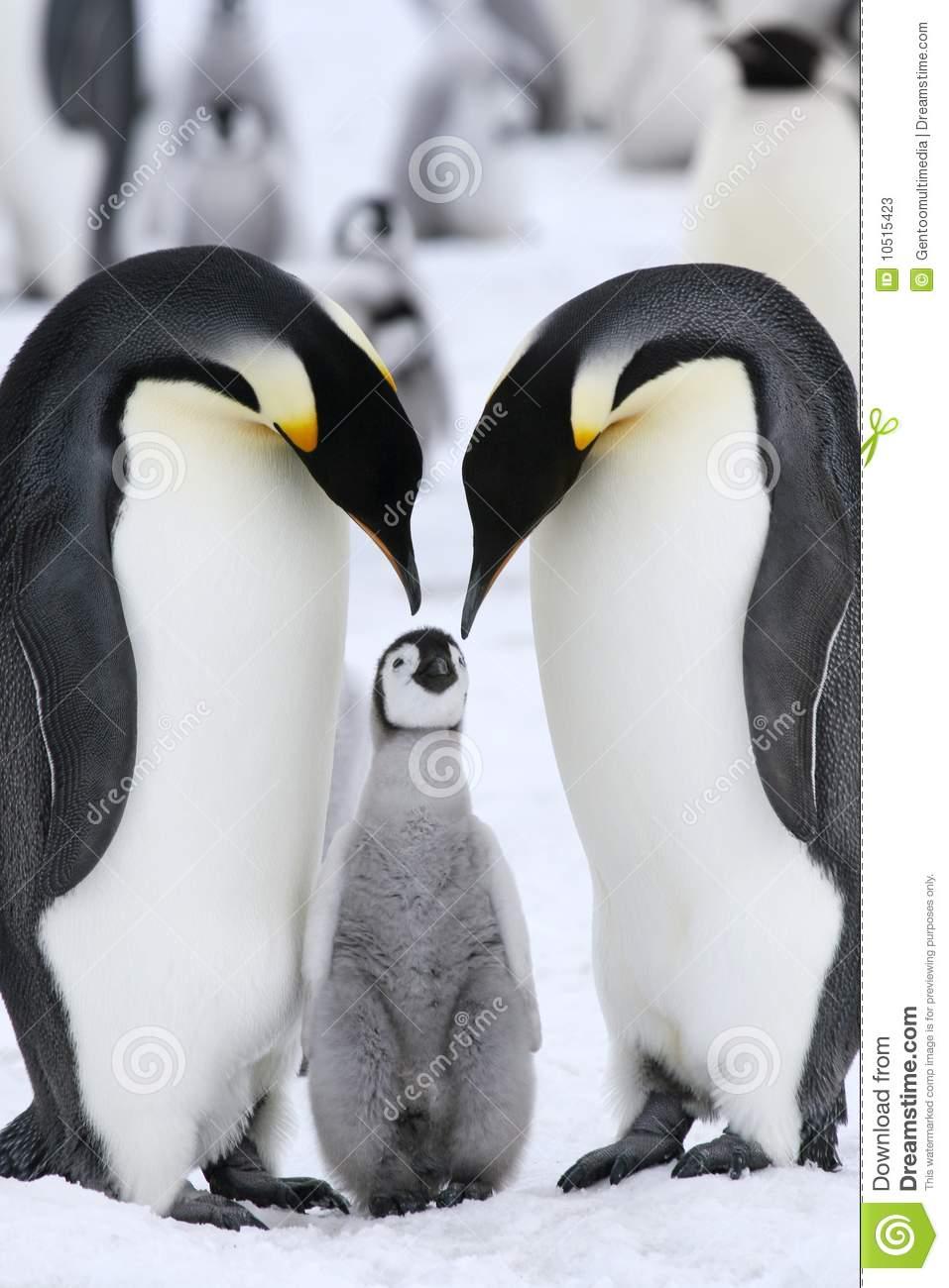 Emperor Penguins (Aptenodytes Forsteri) Stock Photos.