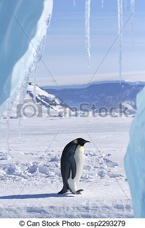 Stock Photographs of Emperor penguin (Aptenodytes forsteri.