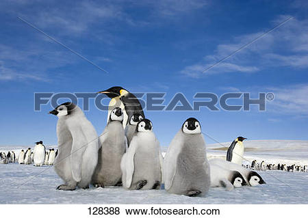 Pictures of emperor penguin with cubs / Aptenodytes forsteri.