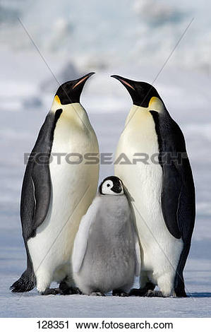 Stock Photography of two emperor penguins with cub / Aptenodytes.