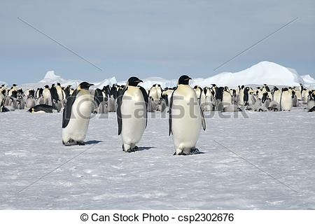 Stock Image of Emperor penguins (Aptenodytes forsteri) walking on.
