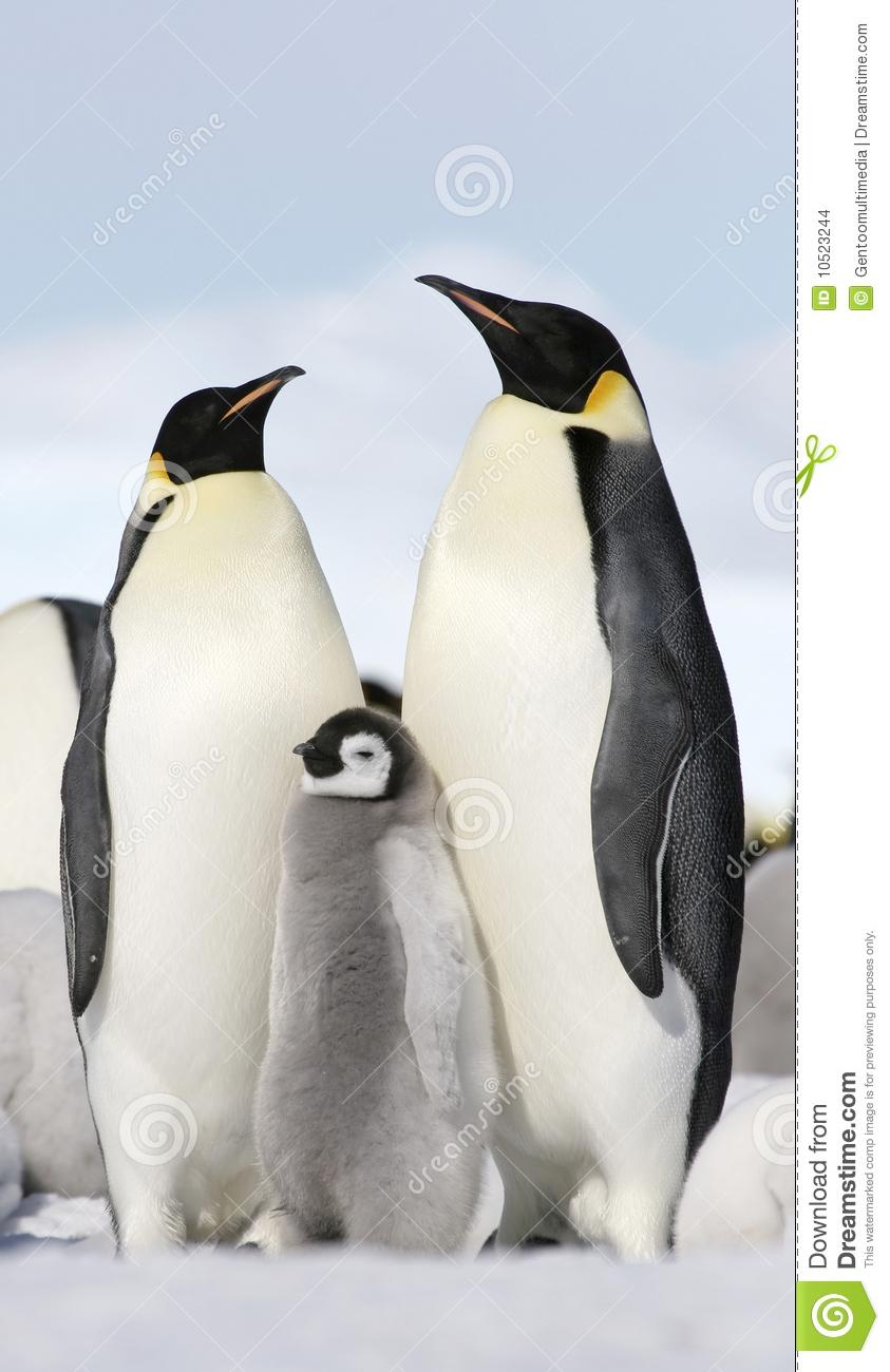 Emperor Penguins (Aptenodytes Forsteri) Stock Images.