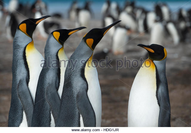 Fun Funny Penguins Stock Photos & Fun Funny Penguins Stock Images.