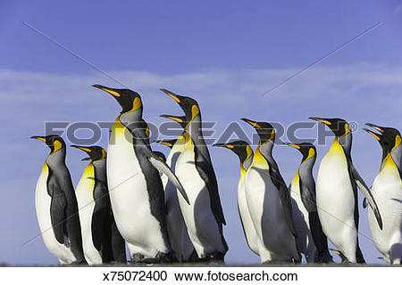 Stock Photography of King penguins (Aptenodytes patagonicus.