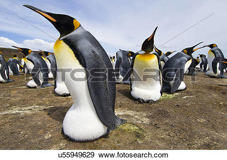 Stock Photograph of King penguins incubating eggs, Aptenodytes.