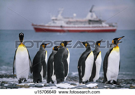Stock Photograph of King penguins, Aptenodytes patagonicus.