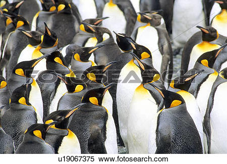Stock Image of Molting adult king penguins (Aptenodytes.