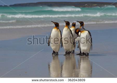 King Penguin Stock Photos, Royalty.