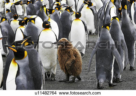 Stock Photo of King Penguins (Aptenodytes patagonicus) with chick.