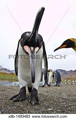 Stock Photo of Curious king penguin Aptenodytes patagonicus.