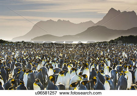 Picture of King penguin colony, Aptenodytes patagonicus, South.