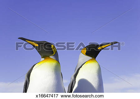 Picture of Two king penguins (Aptenodytes patagonicus) side by.