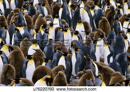 Stock Photography of King penguin colony, Aptenodytes patagonicus.