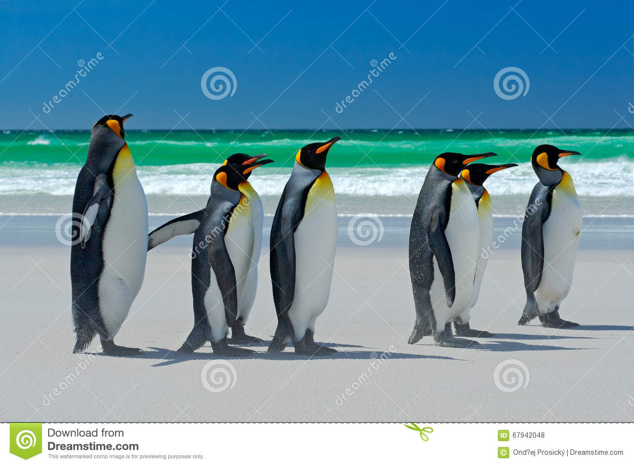 Group Of King Penguins, Aptenodytes Patagonicus, Going From White.