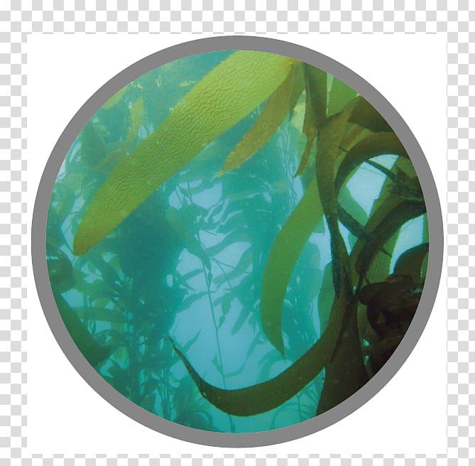 Macrocystis pyrifera Seaweed Kelp forest Algae Chromista.