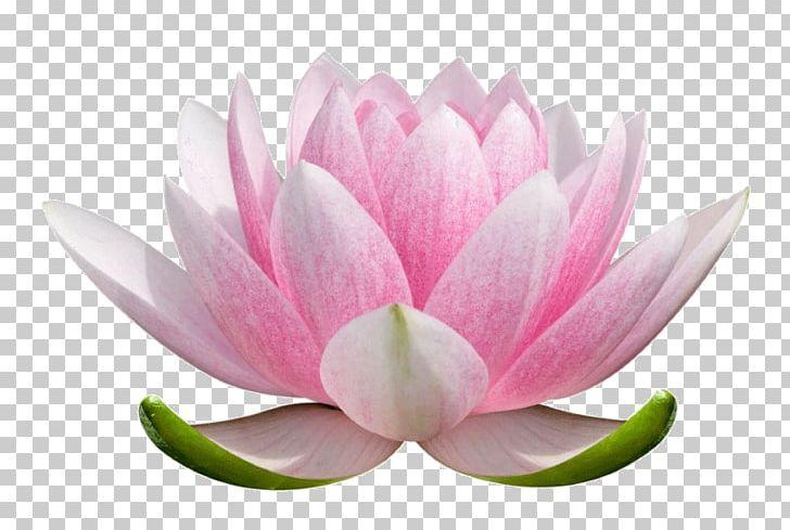 Nelumbo Nucifera Flower Stock Photography Nymphaea Lotus.