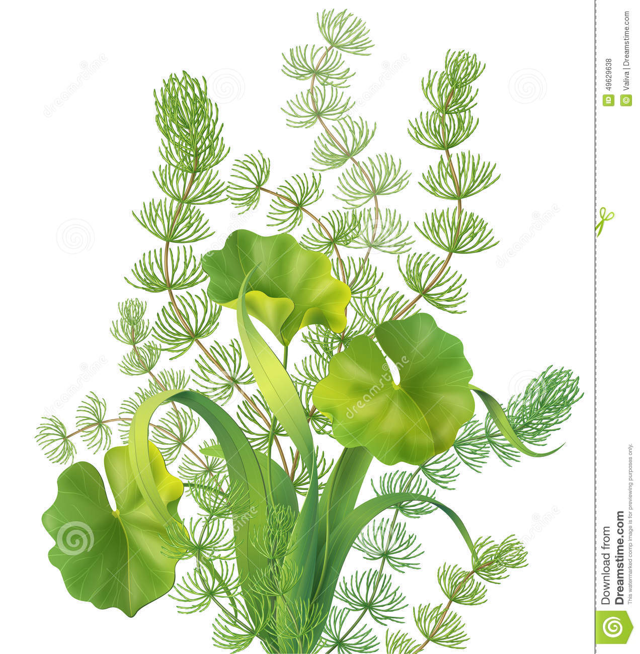 Aquatic Plants Stock Illustrations.