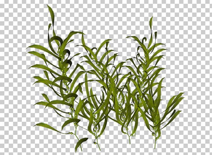 Seaweed Ocean Aquatic Plants PNG, Clipart, Animal, Aquarium Decor.
