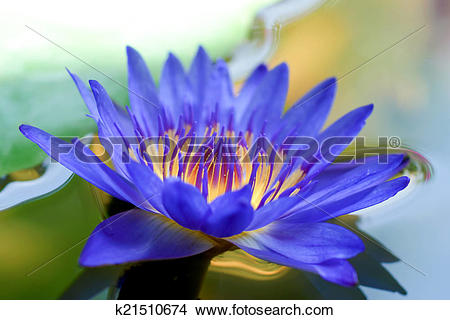 Drawings of Close up of violet waterlily flower. k21510674.