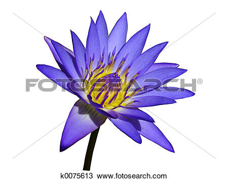 Stock Photo of Purple Water Lily k0075613.