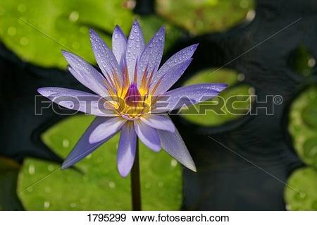 Stock Photograph of Purple water lily 1795299.