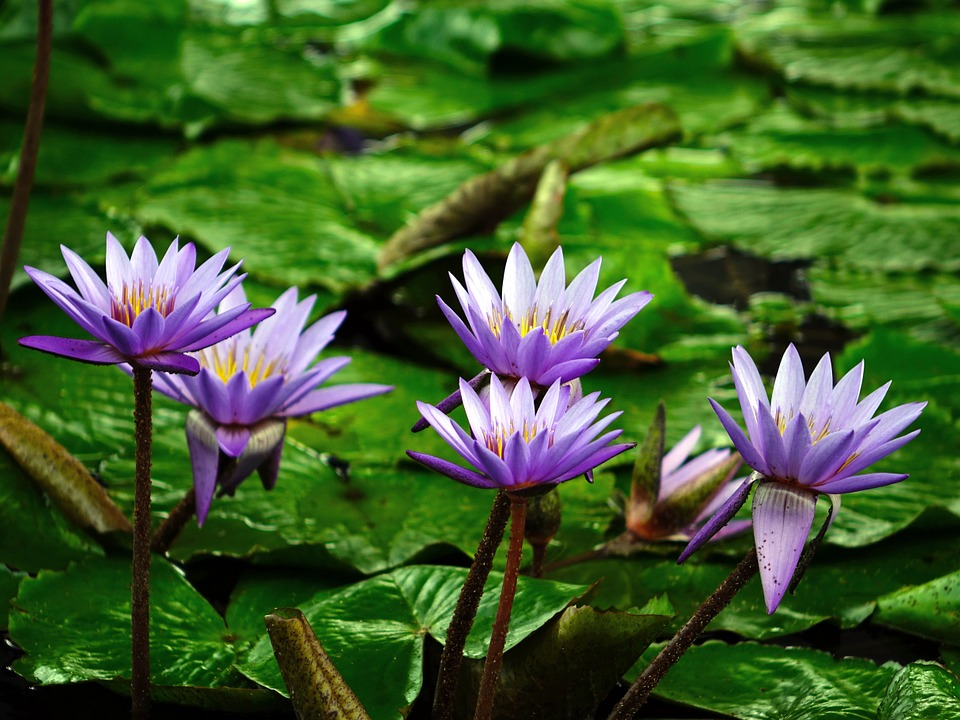 Free photo Flowers Purple Water Lily Aquatic Plant Flower.