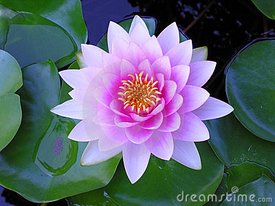 Purple Water Lily Royalty Free Stock Images.