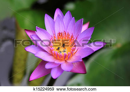 Stock Photograph of Purple Lotus Flower (Water Lily) k15224959.
