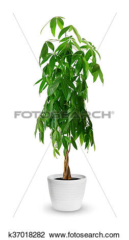 Stock Photo of Pachira aquatica a potted plant isolated over white.
