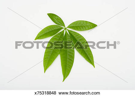 Pictures of Leaf of Money Tree (Pachira Aquatica) , studio shot.