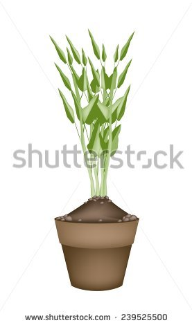 Ipomoea Aquatica Stock Vectors & Vector Clip Art.