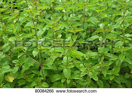 Stock Images of DEU, 2007: Horsemint, Water Mint (Mentha aquatica.